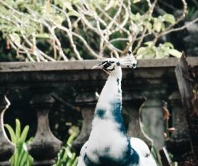 Beautiful white peacock Stock Photo