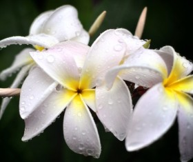 Beautiful white plumeria Stock Photo