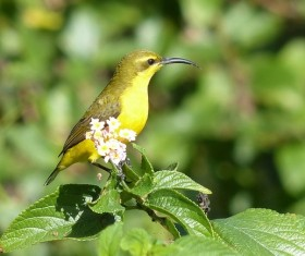 Beautiful yellow sunbird Stock Photo