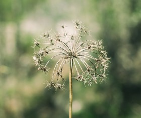 Closeup of fragile dandelion in nature Stock Photo