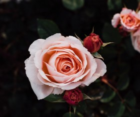 Closeup of fresh roses in nature Stock Photo