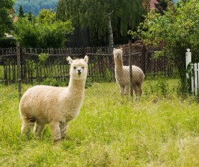 Cute cute alpaca Stock Photo