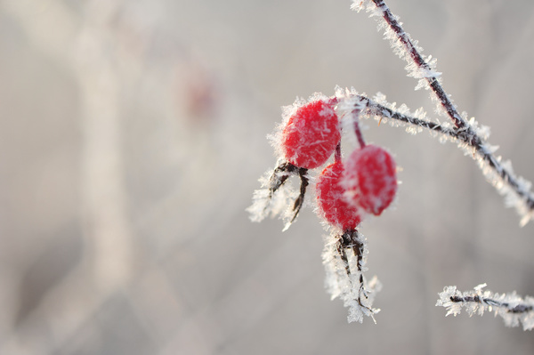 Frosted red berries in winter Stock Photo