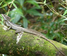 Long tail pet lizard Stock Photo
