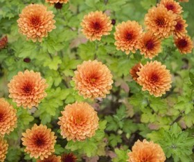 Orange chrysanthemums blooming in autumn Stock Photo