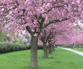 Park full of cherry Stock Photo