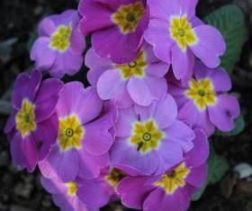Purple lilac flowers Stock Photo