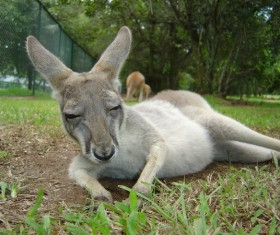 Sleeping little kangaroo Stock Photo