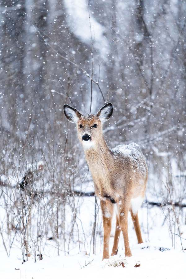 The fawn in the snow Stock Photo