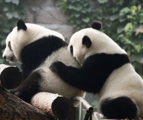 Two pandas playing together Stock Photo