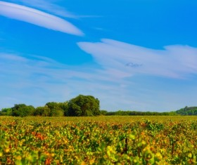 Vineyard landscape under the blue sky Stock Photo