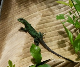 Wild Green Chameleon Stock Photo