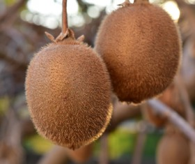 Wild fruit kiwi Stock Photo