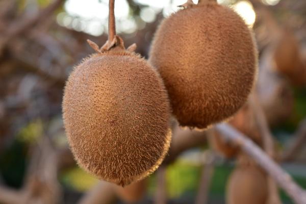 Wild fruit kiwi Stock Photo