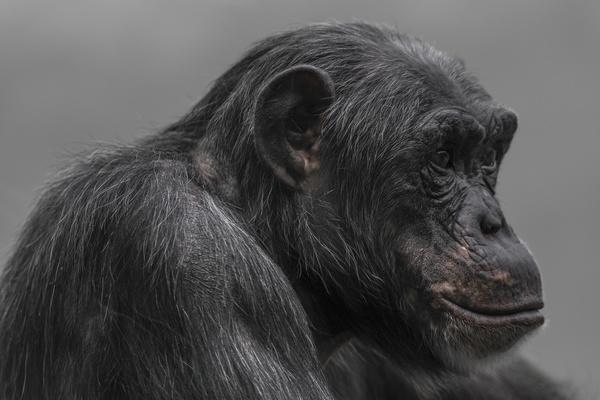 Adult gorillas Stock Photo 04