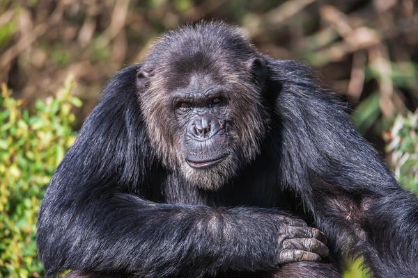Adult gorillas Stock Photo 05