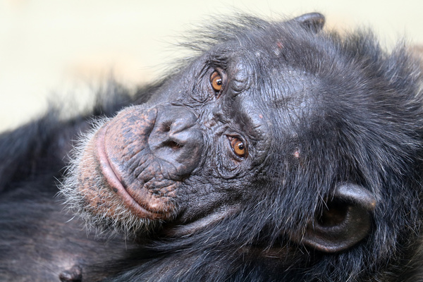 Adult gorillas Stock Photo 06