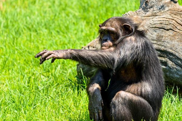 Adult gorillas Stock Photo 07