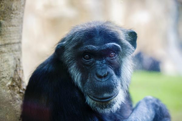 Adult gorillas Stock Photo 08