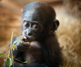 Baby orangutan eating leaves Stock Photo