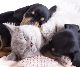 Cats sleeping with dogs Stock Photo 03