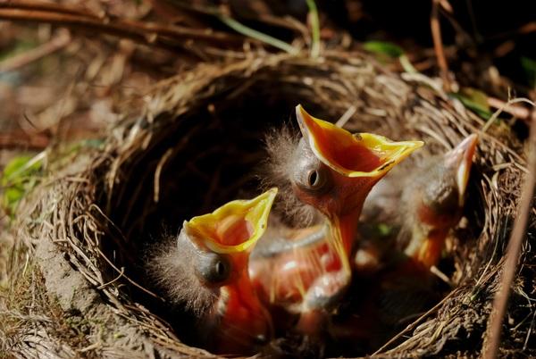 Chicks in nest Stock Photo