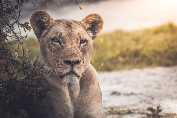 Closeup of wild lioness in nature Stock Photo