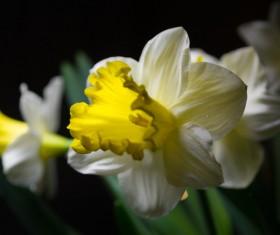 Daffodil close up shot Stock Photo