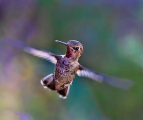 Flapping hummingbird Stock Photo