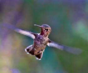 Flapping hummingbird Stock Photo