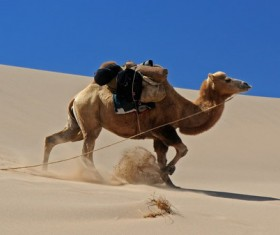 Gobi Desert Bactrian Camel Stock Photo