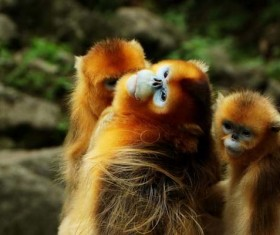 Golden monkey Stock Photo
