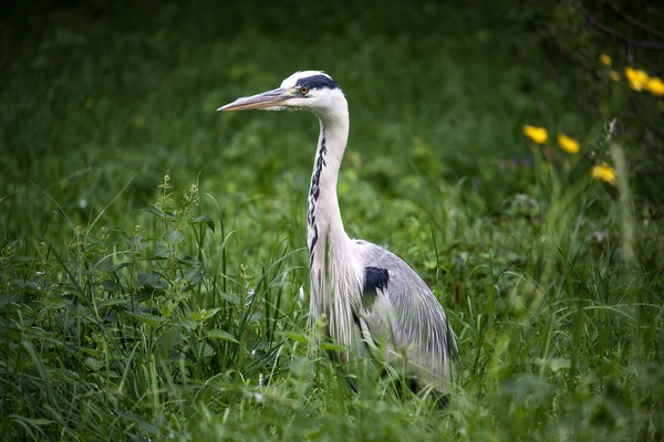Heron in the grass Stock Photo