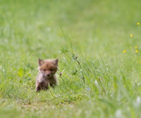 Little fox cub on the grass Stock Photo