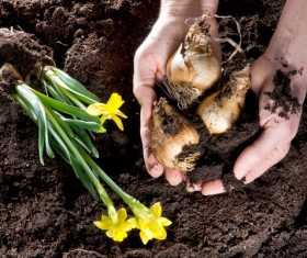 Planting daffodils Stock Photo