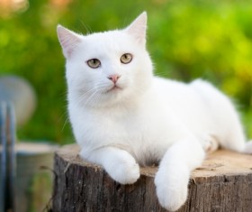 Pure white cat Stock Photo