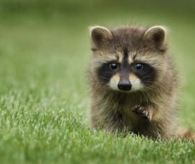 Raccoon on the grass Stock Photo
