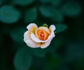 Raindrops beautiful flowers Stock Photo