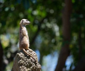 Standing mongoose Stock Photo