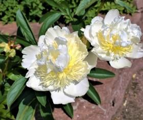 White peony flower closeup Stock Photo
