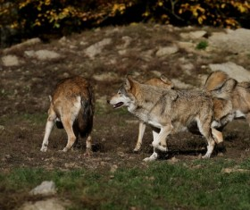 Wild Wolf Pack Stock Photo