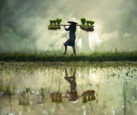Woman carrying rice seedlings Stock Photo 02