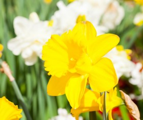 Yellow and white daffodils Stock Photo