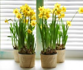 Yellow daffodils on windowsill Stock Photo