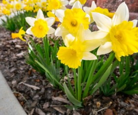 Yellow white daffodils planted outdoors Stock Photo