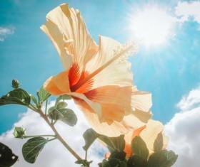 hibiscus flower in the sunshine Stock Photo