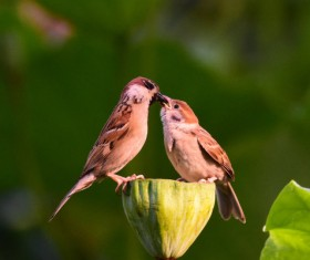 A pair of little sparrows on the lotus Stock Photo
