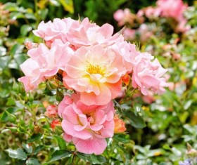 Beautiful pink Chinese rose in full bloom Stock Photo