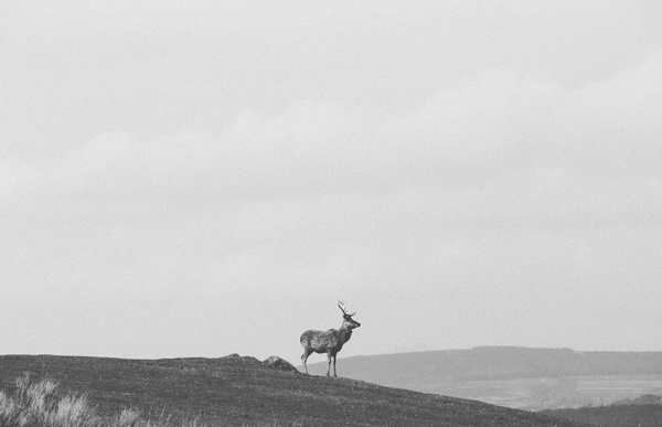 Black white picture of wild reindeer on highland Stock Photo