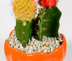 Colored cactus potted Stock Photo